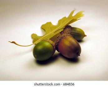 Still life of acorns on white background.