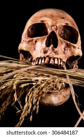 Still life Bunch of spike rice and Human Skull, Farmer family Starve to death , poor farmer concept