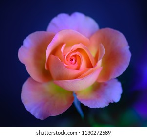 Still life fine art color macro flower portrait of a single isolated pink yellow young rose blossom on blurred blue background with detailed texture