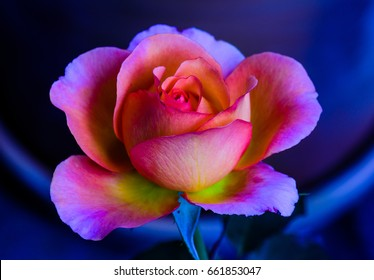 Still life fine art color macro flower portrait of a single isolated violet pink yellow flowering blooming young rose blossom on blue background with detailed texture in vintage painting style