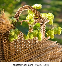 still life with hop cones and barley with wheat in thewicker basket
