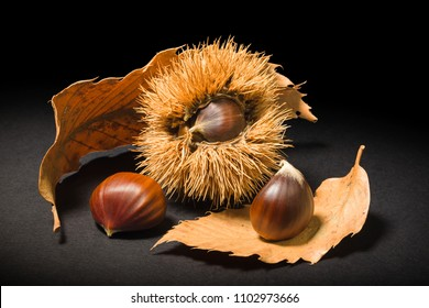 Still life on black background some chestnuts and a chestnut hedgehog.