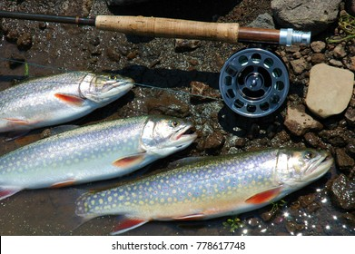 Still life photo of Brook Trout with fly rod and reel.