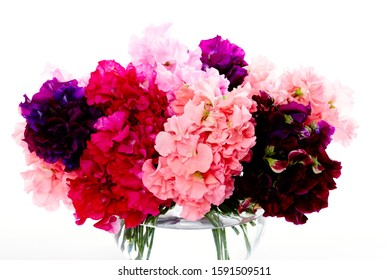 Still life photography of purple, pink and burgundy sweet pea lathyrus odoratus cut flowers floral arrangement in glass vase on white background