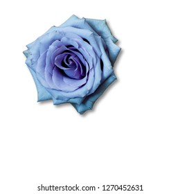 still life with purple rose and white background