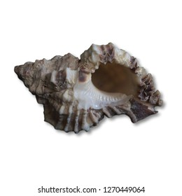 still life seashell with white background
