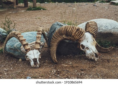 Still life with two cow skulls with big horns close up. Background with cows skulls in vintage style. Close-up of animals skeletons in desert. Collection of animal bones. Decoration with two skulls.
