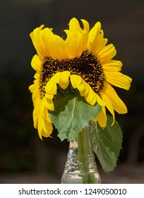 still life of two yellow sunflowers that merged into one mutant, abnormal flower on a black background