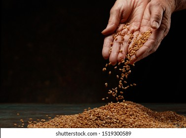 Still life of the wheat harvest.  Wheat grains in hands on a dark background. Hands of an old woman pour grain of ripe wheat. Close-up