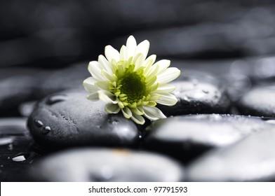 Still life white chamomiles on pebbles