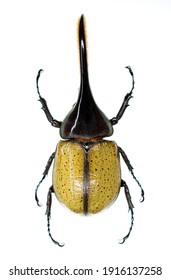 Still photo of the hercules beetle, Dynastes hercules