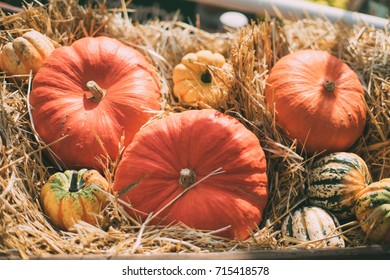 Still-life with multiple orange, beige and variegated pumpkins laying on dry thatch after harvesting on sunny autumn day; shallow depth of field