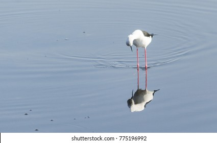 A stilt bird in early morning during sunrise time watching it self in the reflection in the water