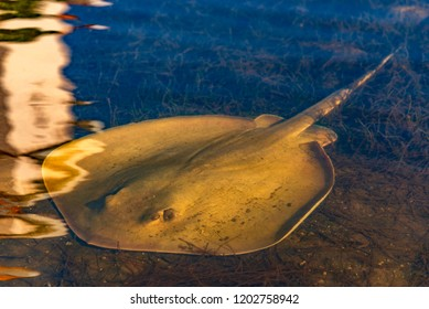 Sting ray fish under water in the bay