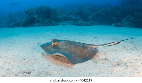A sting ray swims along the ocean floor with the coral reef in the distance