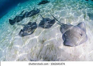 Sting Rays in Clear Ocean Waters of Bimini, Bahamas