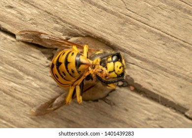 Stinger, German yellowjacket, European wasp or German wasp (lat. Vespula  germanica), dead one.