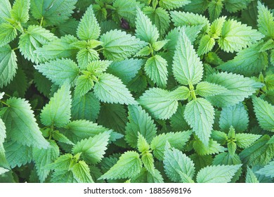 Stinging green nettle leaves background texture