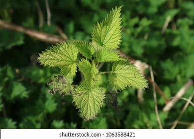 Stinging Nettle Close-up - green nettle leaves with soft focus green.background.