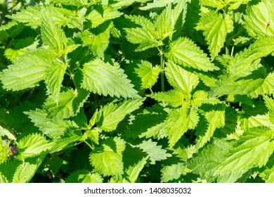 Stinging nettle as green grass background