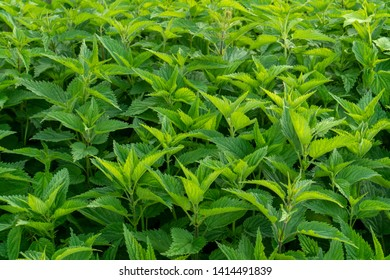Stinging nettle -  is a herbaceous perennial flowering plant in the family Urticaceae. Originally native to Europe, much of temperate Asia and western North Africa