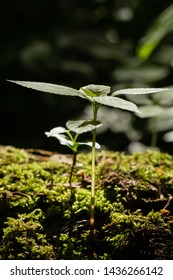 Stinging nettle, also known as Urtica dioica seedling growing on a layer of thick moss.
