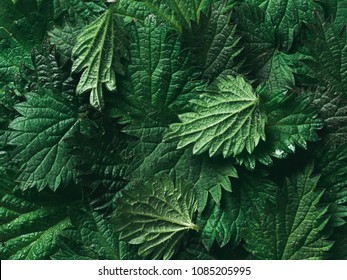 stinging nettle leaves as background. Beautiful texture of nettle. Top view. Copy space. Can use as banner