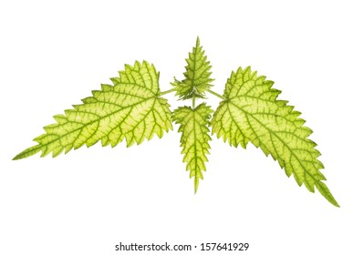 Stinging nettle leaves backlit and isolated against white