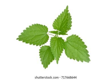 Stinging nettle leaves isolated on white background