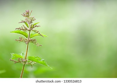 Stinging nettle (Urtica dioica) against blurred background.
