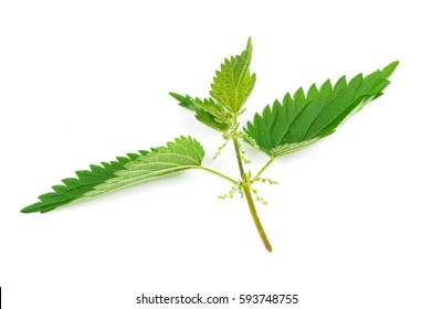 Stinging Nettle (Urtica Dioica) isolated