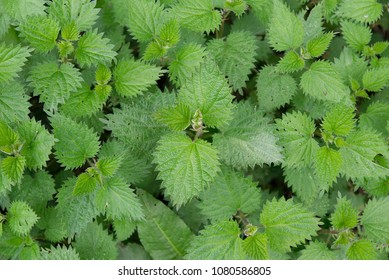 Stinging nettles background texture, Urtica dioica, common nettle