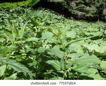 Stinging nettles -  green leaves with serrated margin, (Urtica dioica), Green natural background