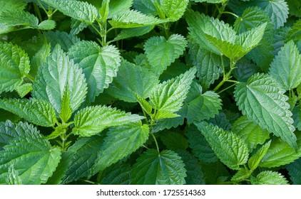 Nesselstiche (Urtica dioica) im Garten. Grüne Blätter mit gesiebten Kanten.