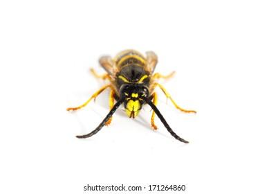 Stinging wasp isolated on white background