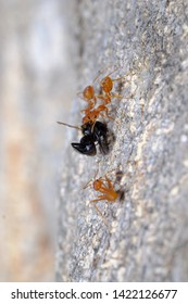 A stingless bee was attacked by Weaver ants. Weaver ants are capturing the prey.