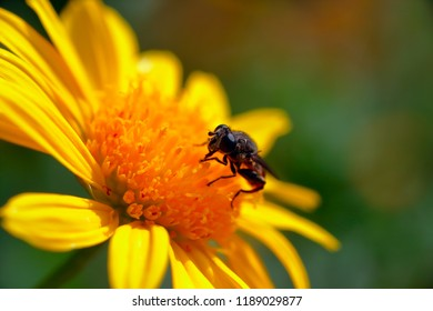 A stingless honey bee stands on a yellow flower