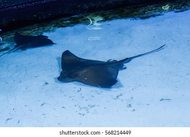 Stingray in the aquarium