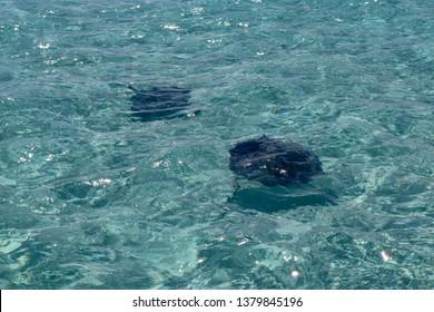 Stingray in Caribbean sea, Cayman Islands
