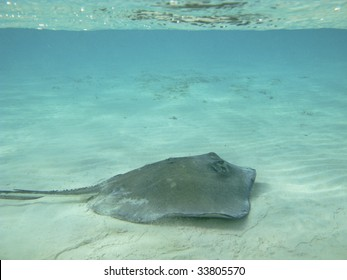 Stingray in the Cayman Islands