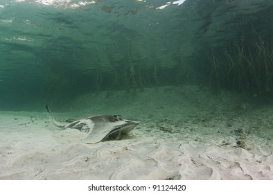 A stingray feeding in a shallow water lagoon with mangroves in the background
