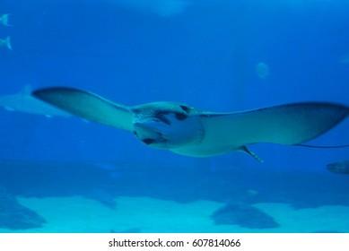 Stingray gliding underwater in the ocean just above the ocean floor.