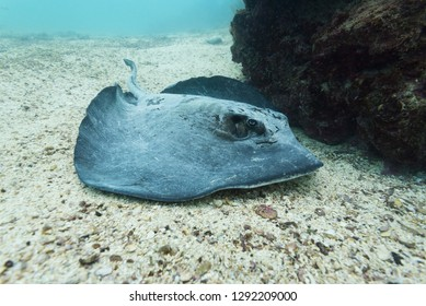 A stingray next to the rocks in the waters around the Galapagos