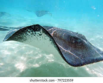 A Stingray passes by underwater in the Cayman Islands.