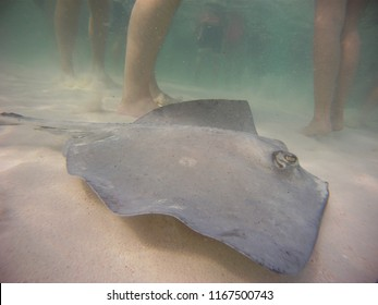 Stingray in the shallow water of Stingray City Cayman Islands
