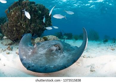 Stingray swimming towards camera in Grand Cayman Islands