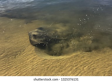 A stingray(Hemitrygon fluviorum) feeding in the shallows of the Clarence River at dawn...leaving behind hollows in the sand, after sifting through it for morsels of food. Clear water, healthy estuary.