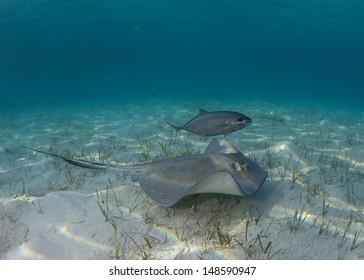 Stingrays in the Bahamas