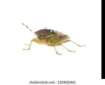 Stink aka shield bug, Nezara viridula, adult in winter colors. Facing camera, isolated on white. Macro.