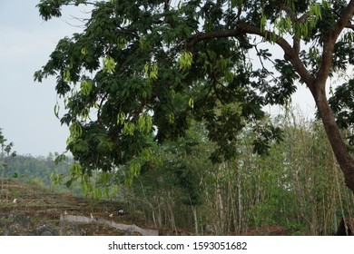 Stink bean, also known as parkia speciosa, sataw petai, staw petai , smelly bean or twisted cluster bean is widely consumed in southern southeast Asia. The beans grow hanging from a tree.